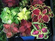 Coleus cultivars