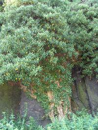 Arborescent hedera helix