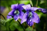 File:Violets.jpg