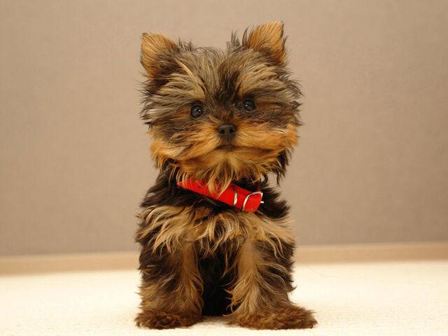 File:Yorkie Puppy.jpg