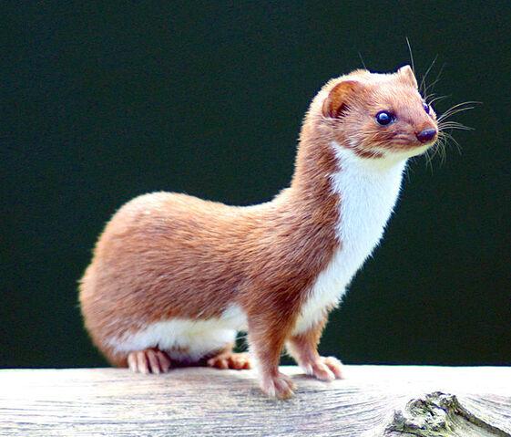 File:Weasel Mustela nivalis.jpg.jpg