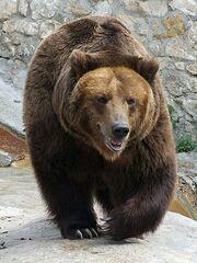 Brown bear, Russia