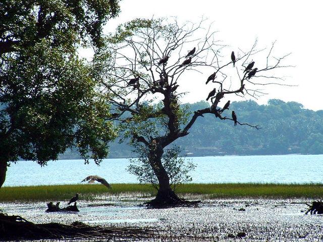 File:India Goa Chapora River Colony of Birds.jpg