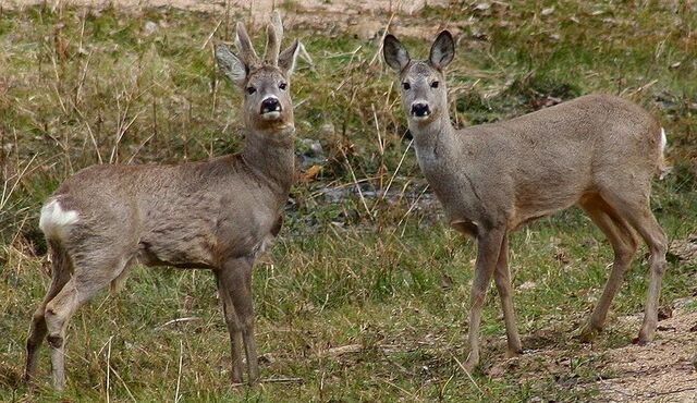 File:Roe deer.jpg