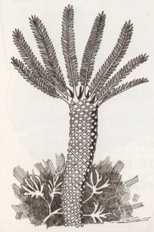 File:Fern veriformans2.png