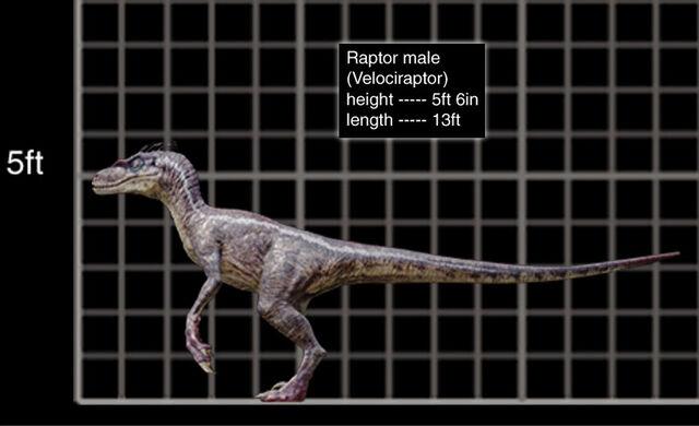 File:800x488 Velociraptor male size chart.jpg