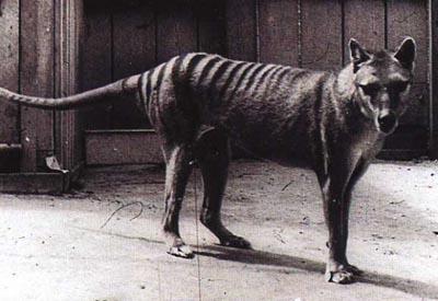 File:Tigre-de-tasmanie-thylacinus-cynocephalus 1146 w560.jpg