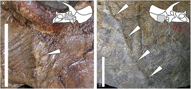 File:Triceratops lesions.jpg