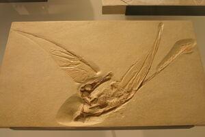 20091226005013!Rhamphorhynchus muensteri cast