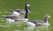 Swanley Park x goose