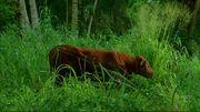 Enter77 cow.jpg