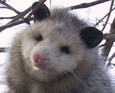 File:Opossum1.jpg