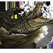 Item nilecrocodile 01