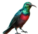 Banded Sunbird