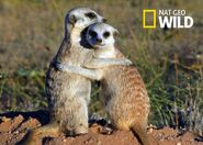 Clan of the Meerkat