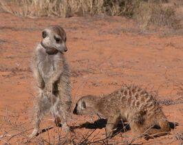 Dominant meerkats(Young Ones group)