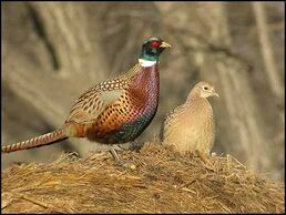 Ringed necked pheasant pair