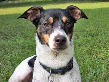 File:Rat-terrier-0228.jpg