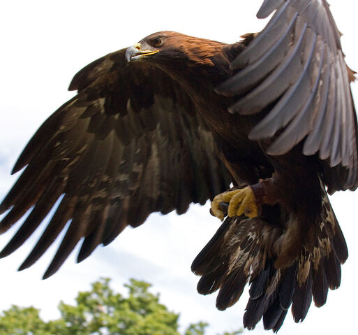 File:Golden Eagle.jpg
