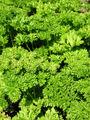 Petersilie (Petroselinum crispum).jpg