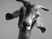 Goatstare