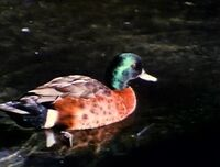 DucksSwim