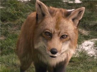 File:Fox2.JPG