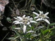 Very rare endemic mountain flower runolist (german edelweiss), photo taken on rocky slopes above lake sator (119567)