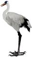 Crane (Guild Wars)