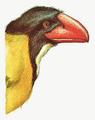 Nut-Eating Pacauan Whistler