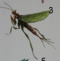 Fallow Mantis (Inaratumantis)