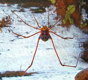 Discocyrtoides nigricans (Mello-Leitão, 1922) male - by Enio Branco 2009 Votorantim SP