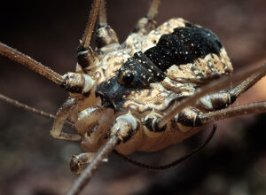 Leuronychus pacificus male - Palomar Mountain, CA - Hedin