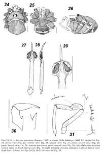Jussara argentata 12