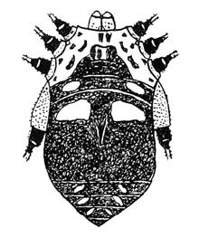 Eugagrella minima