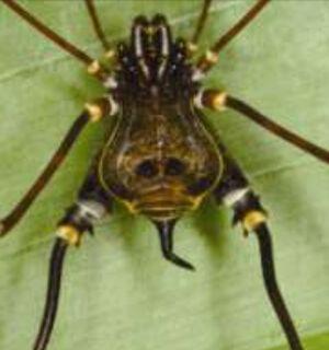 Metasarcus sp