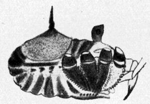 Altobunus formosus Roewer, 1910 from Rwr 1923