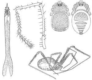 Crosbycus dasycnemus composite