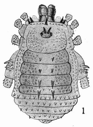 Gudalura biseriata Roewer, 1927