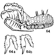 Baramia vorax Hirst-1912