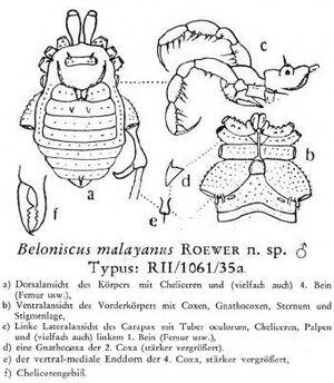 Beloniscus malayanus Roewer-1949a