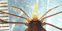 Hernandariinae