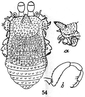 Tundabia semicaeca Roewer, 1935