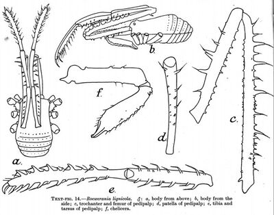 Roewerania lignicola