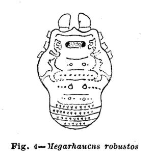 Megarhaucus robustus