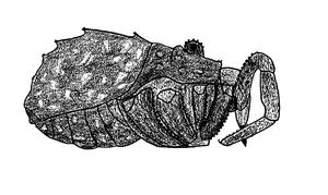 Protolophus differens