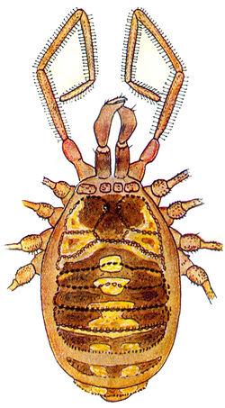 Mitostoma chrysomelas chrysomelas (Hermann, 1804) by Silhavy 1956a