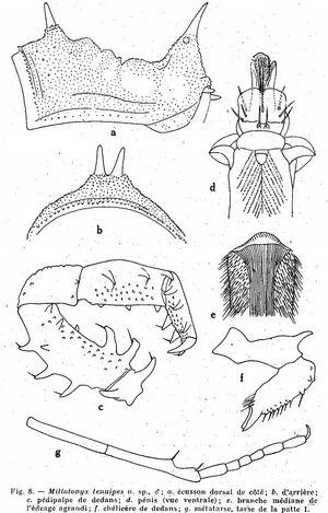 Millotonyx tenuipes