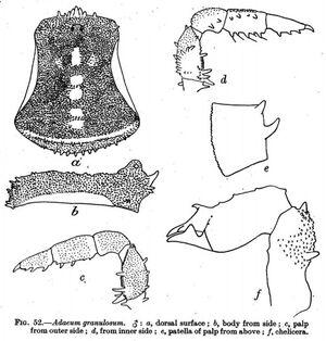 Adaeum granulosum