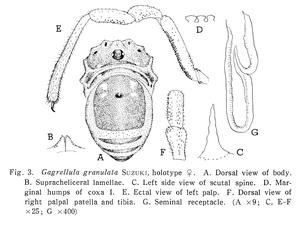 Gagrellula granulata